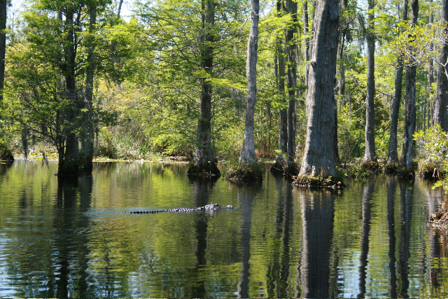 cypress gardens, south carolina, alligator, swamp, pannellbytes, Duane Pannell, Redneck Russian